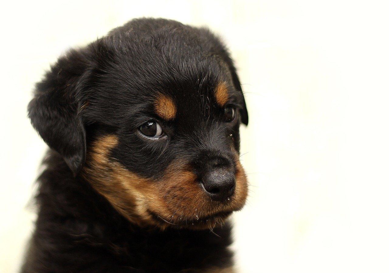 rottweiler, puppy, dog